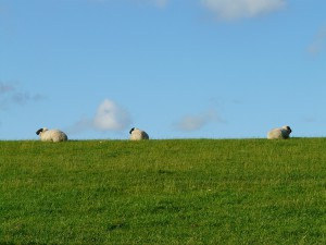sheep-57735_1280